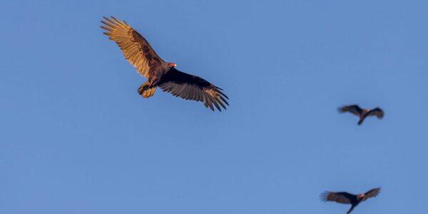 vultures2